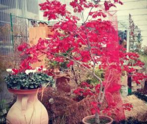 acer vitifolium