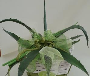 agave in confezione