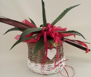 agave in confezione rossa