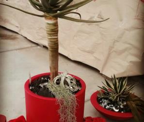 Aloe Dicotoma