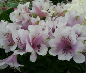 Alstroemeria bianco rosa