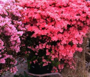 esemplare di azalea japonica