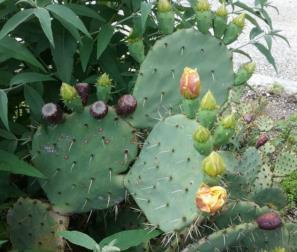 Boccioli di Opuntia Ficus Indica