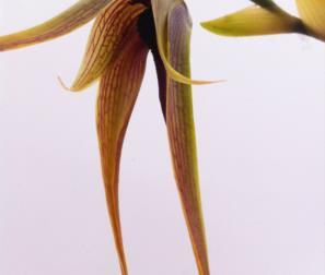 bulbophyllum 2