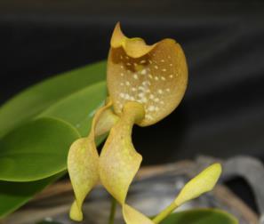 bulbophyllum 3