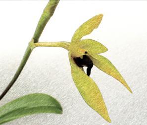 Bulbophyllum Caranculatum