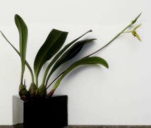 Bulbophyllum Caranculatum in fioritura