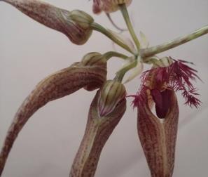 Bulbophyllum primo piano