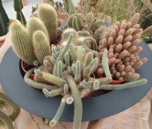 Cactus in composizione