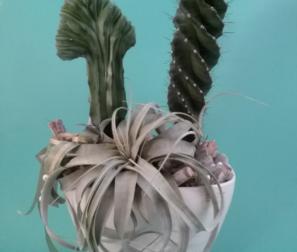 composizione cactus e tillandsia