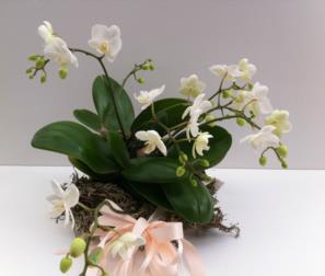 composizione naturale con phalaenopsis