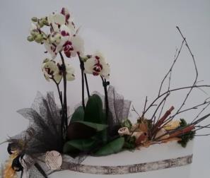 composizione Phalaenopsis, cannella e sughero