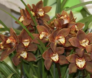 Cymbidium Chocolate
