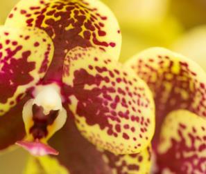 Orchidea da collezione