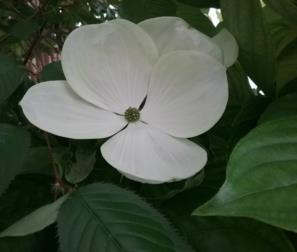 fiore del Cornus Venus