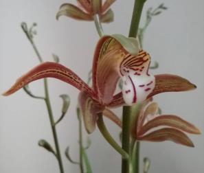 fiore del Cymbium Erythraeum