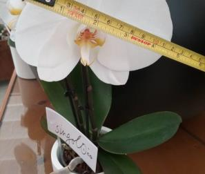 fiore del Singolo di Phlalaenopsis