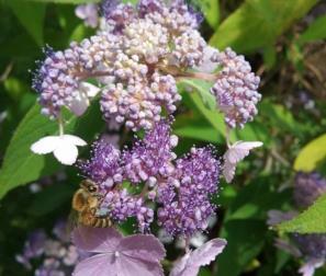 Fiore dell'Hydrangea Aspera Villosa