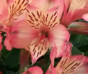 Fiore di Alstroemeria