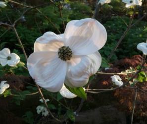 fiore di Cornus Nuttallii