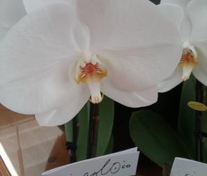 fiore di Phalaenopsis, il Singolo