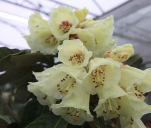 fiori del rododendro tibetano