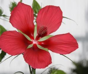 hibiscus palustris