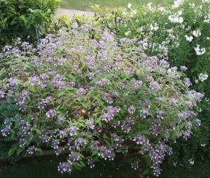Hydrangea Aspera Villosa e Solanum