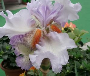 Iris Acoma