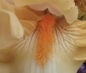 iris Divine Light