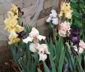 Iris Germanica o Barbata