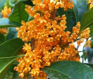 olea fragrans arancio