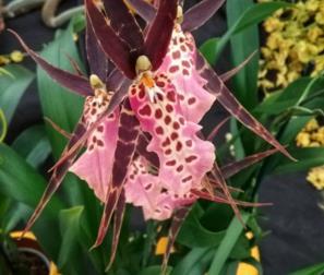 orchidea Brassia