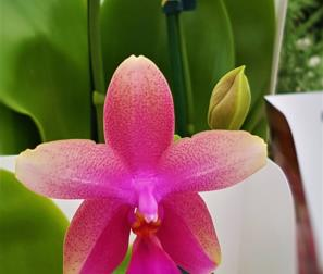 Orchidea Liodoro