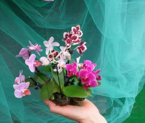 Orchidee micro