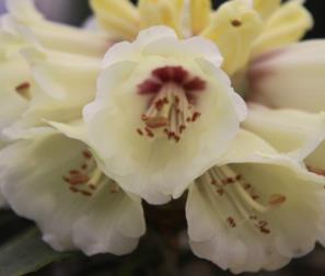 particolare del fiore rododendro tibetano