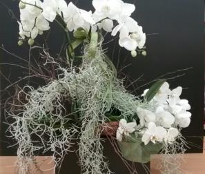 Phalaenopsis e Tillandsia usneoides