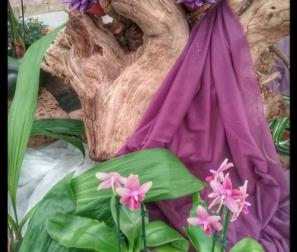 Phalaenopsis Liodore ed Echeverie