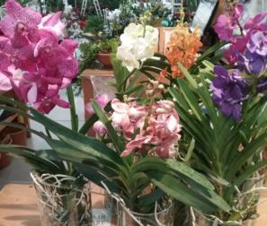 Orchidee Vanda di più colori