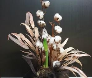 Confezione con bulbo di Amaryllis e fiori di cotone