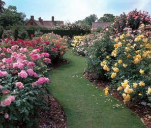 il giardino david austin rose